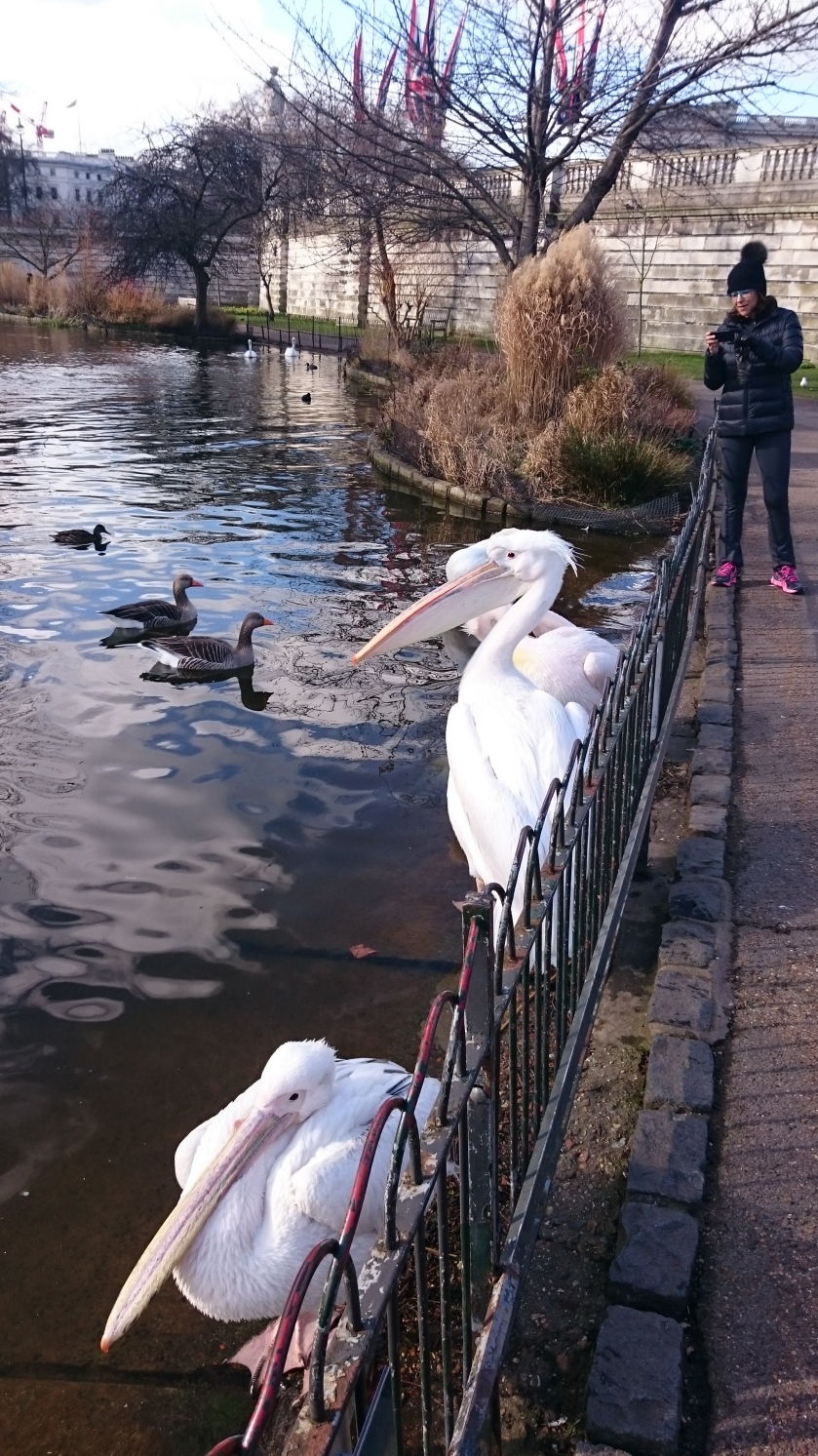 Spotted in St James' park. Giant pelicans. Where did they come from and who else knew they were there?!